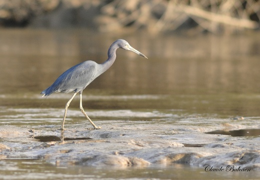 Aigrette bleue Egretta caerulea - Little Blue Heron