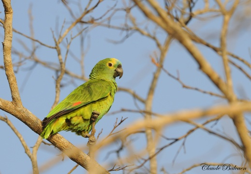Amazone à front jaune Amazona ochrocephala - Yellow-crowned Amazon