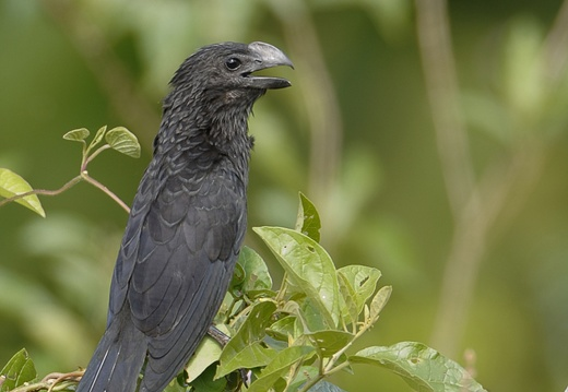 Ani à bec lisse Crotophaga ani - Smooth-billed Ani