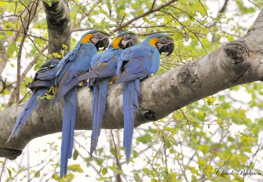 Ara bleu Ara ararauna - Blue-and-yellow Macaw
