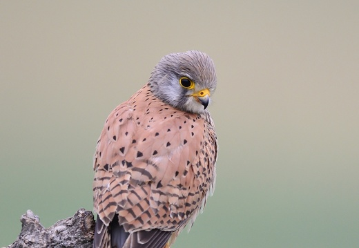 Faucon crécerelle - Falco tinnunculus - Common Kestrel